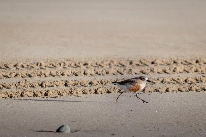De kustvogel van Nieuw Zeeland de Noordelijke Morinelplevier bedreigd door menselijke storing van habitat in het bijzonder honden stock afbeeldingen