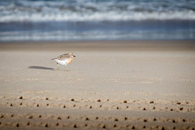 De kustvogel van Nieuw Zeeland de Noordelijke Morinelplevier bedreigd door menselijke storing van habitat in het bijzonder honden stock foto