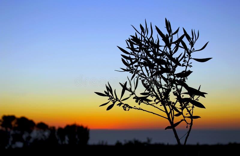De kustzonsondergang van Californië, silhouet van Myoporum royalty-vrije stock foto