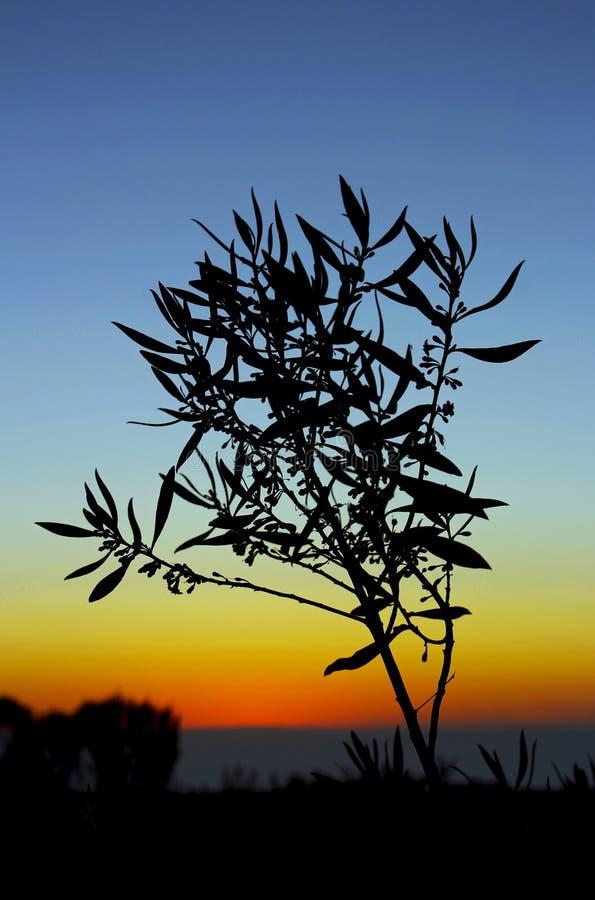 De kustzonsondergang van Californi?, silhouet van Myoporum royalty-vrije stock afbeelding