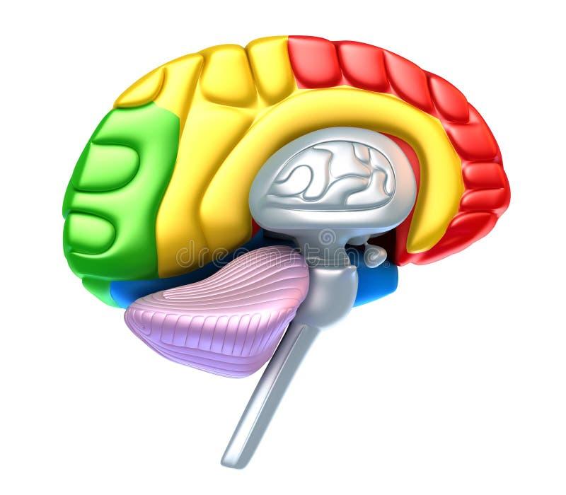 De kwab en de kleine hersenen van hersenen stock illustratie