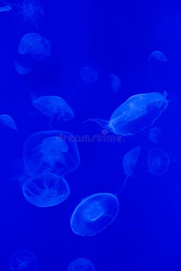 De kwallen van de maan (aureliaaurita) royalty-vrije stock afbeeldingen