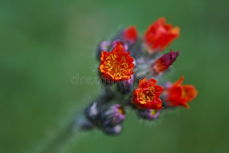 De lösa blommorna, orange hawkweed Hieraciumaurantiacum royaltyfri foto