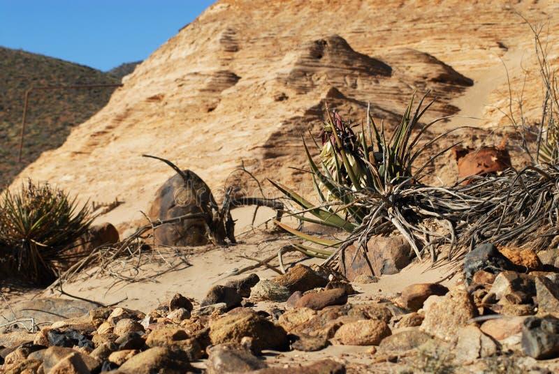 De l'Arizona de désert d'usine toujours la vie photos libres de droits