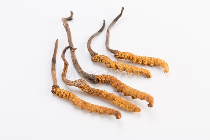 Or de l'Himalaya Népal de Yartsa Gunbu de sinesis de Yarsagumba Cordyceps d'isolement à l'arrière-plan blanc photos libres de droits