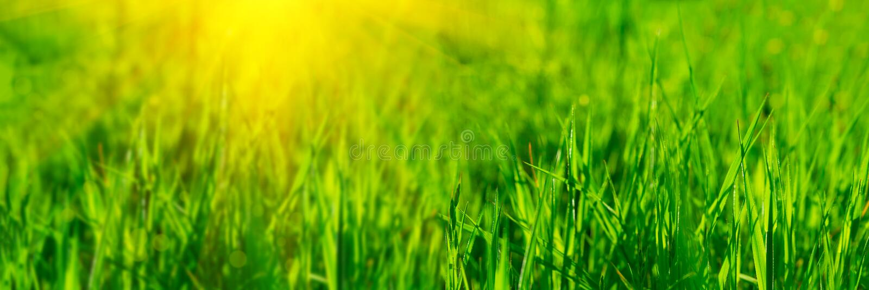 3:1 de la bandera Cierre encima de la hierba verde fresca vibrante con los rayos de la luz del sol Fondo del resorte Copie el esp fotografía de archivo libre de regalías
