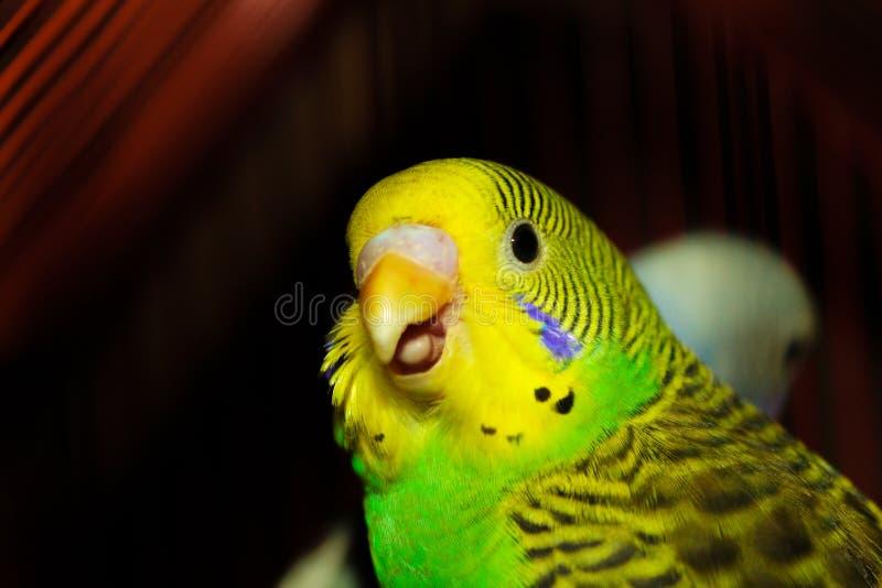 De la cotorra rizada verde de la cotorra rizada boca abierta hermosa y amarilla imágenes de archivo libres de regalías