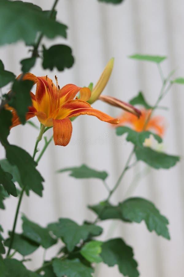 De la flor lateral del lirio del amarillo anaranjado fotografía de archivo