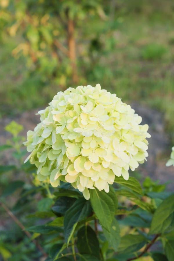 ` De la luz de calcio del ` del paniculata de la hortensia de la inflorescencia en jardín fotografía de archivo