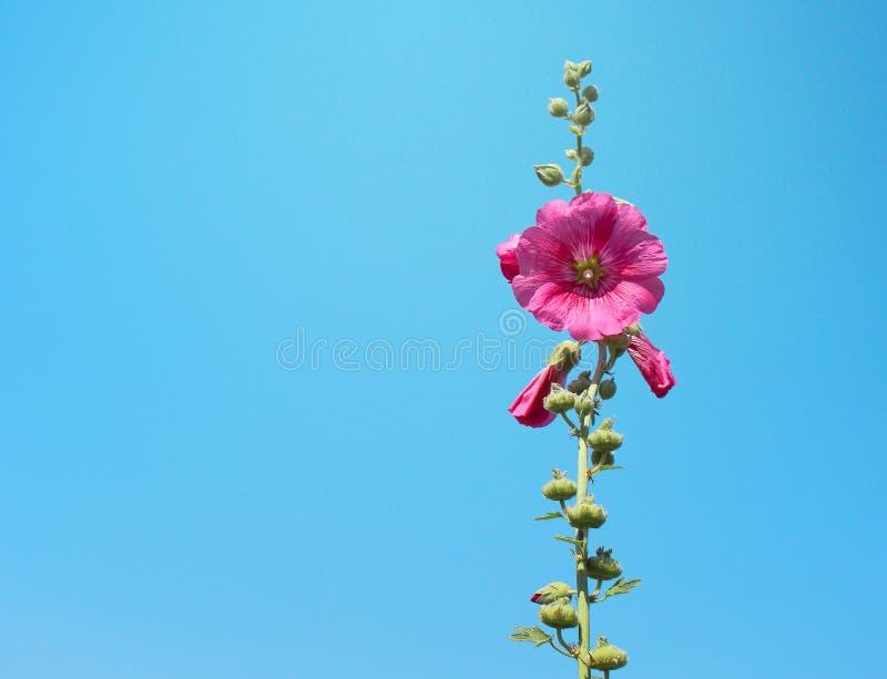 De la malvarrosa de las flores del rosea rojo de la sola inflorescencia modelos naturales dulces coloridos o rosado del Alcea que fotos de archivo