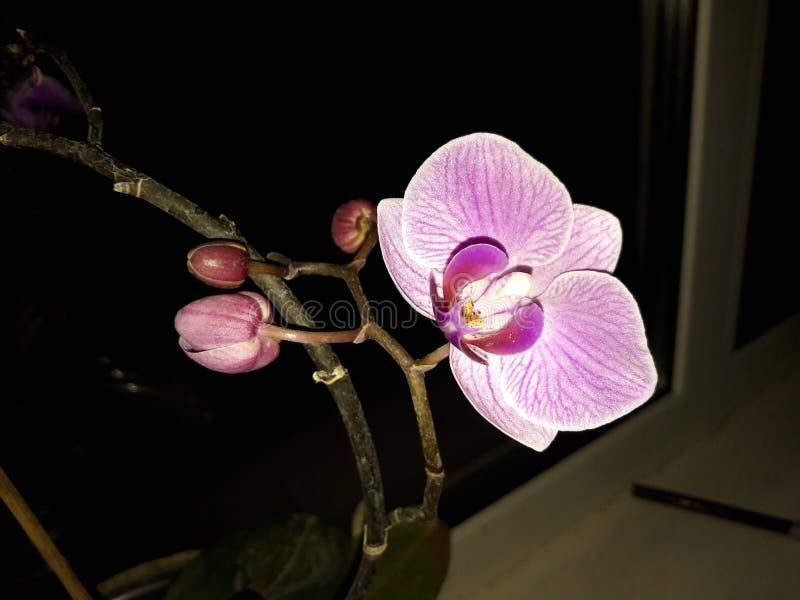  de la orquídea/de Орх иÐ'Ð?Ñ fotografía de archivo libre de regalías