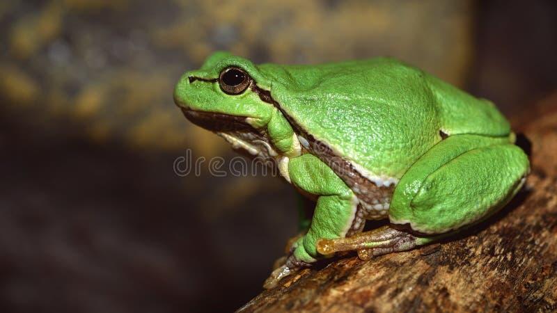 De la rana arbórea del Hyla del arborea arborea verde europeo del Rana antes fotos de archivo