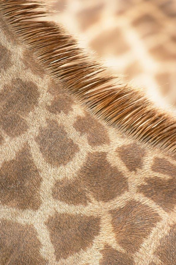 De Laag van de Hals van de giraf stock foto