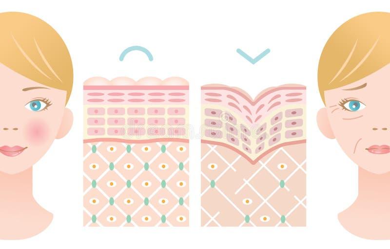 De laagillustratie van de informatie grafische huid jonge huid en oude huid met vrouwengezicht Schoonheid en het concept van de h vector illustratie