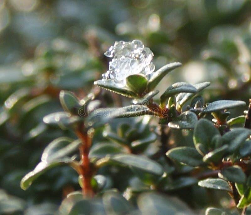 De laatste koude adem van de winter op de gewekte thyme stock foto's