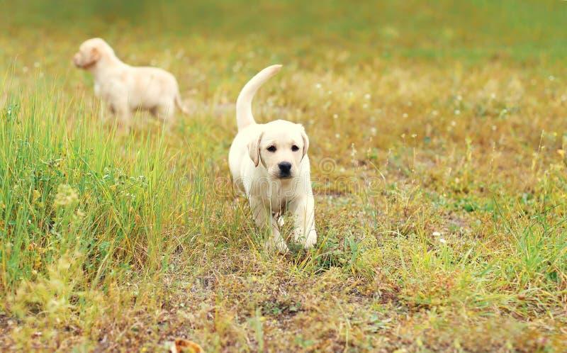 De Labrador die van twee puppyhonden samen lopen stock fotografie