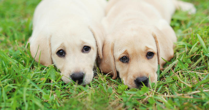 De Labrador die van twee puppyhonden samen op gras liggen royalty-vrije stock fotografie