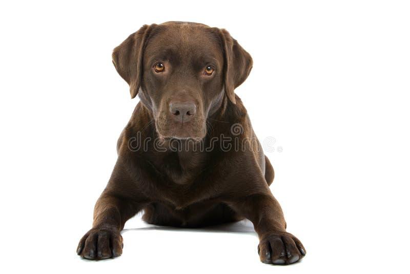 De Labrador van de chocolade stock afbeelding