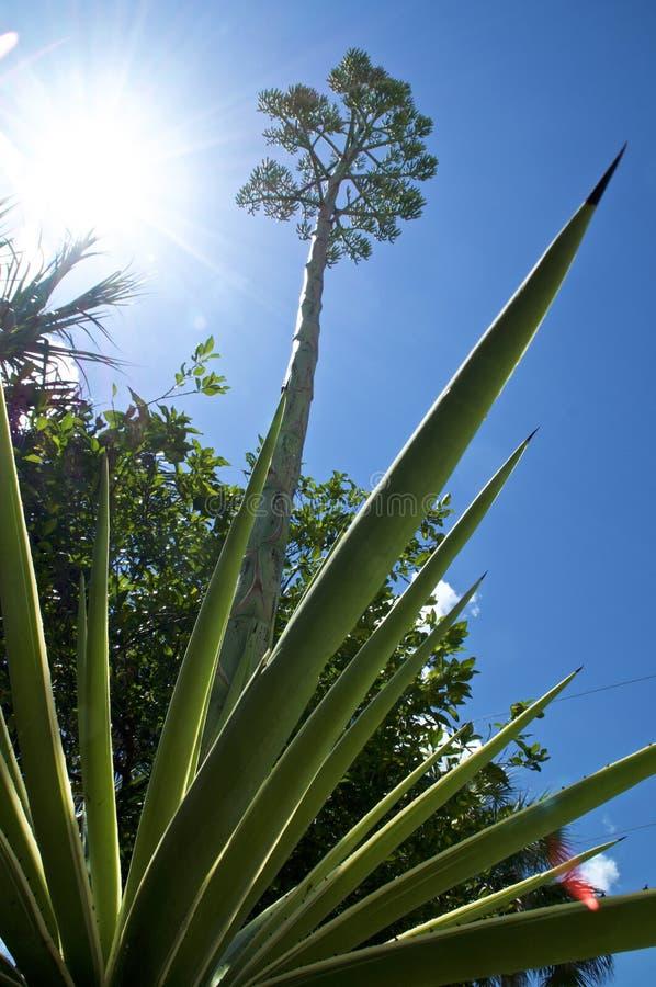 De lage hoekmening van agaveinstallatie met bloemsteel en de zon met lens flakkeren stock foto's