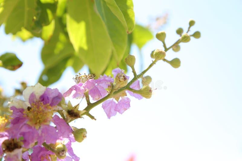 De Lagerstroemiabomen worden gekweekt op hooggebergte of in sierpotten, zijn de bloemen mooie, krachtige vitaliteit stock foto