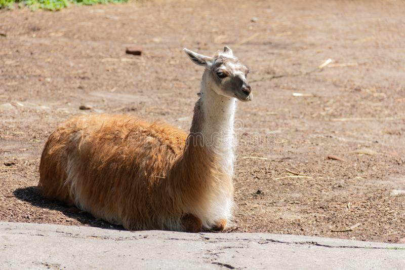 De lama ligt op het gazon en geniet van de warme zonneschijn royalty-vrije stock fotografie