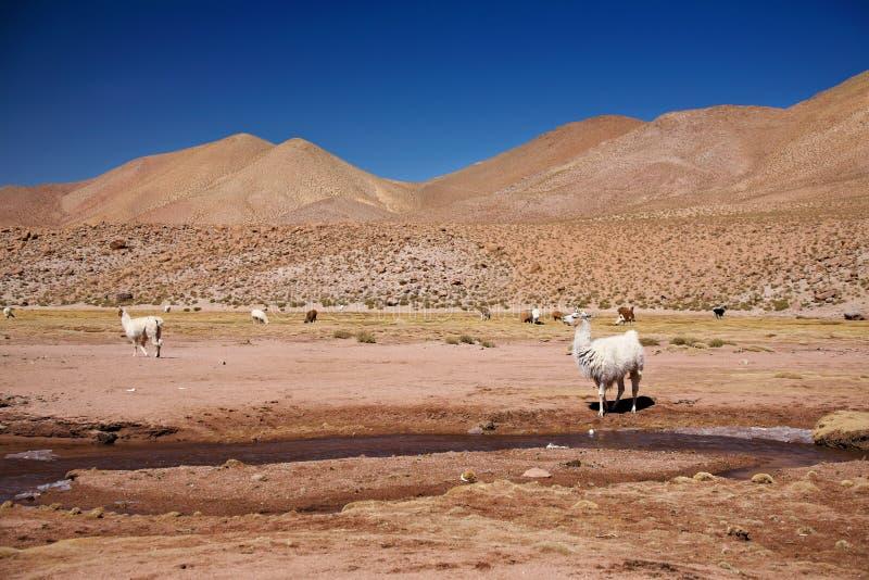 De lama's in Atacama verlaten stock foto