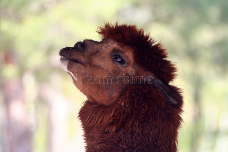De lama, sluit omhoog royalty-vrije stock foto's