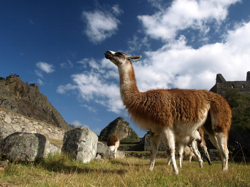 De lama van Peru royalty-vrije stock fotografie