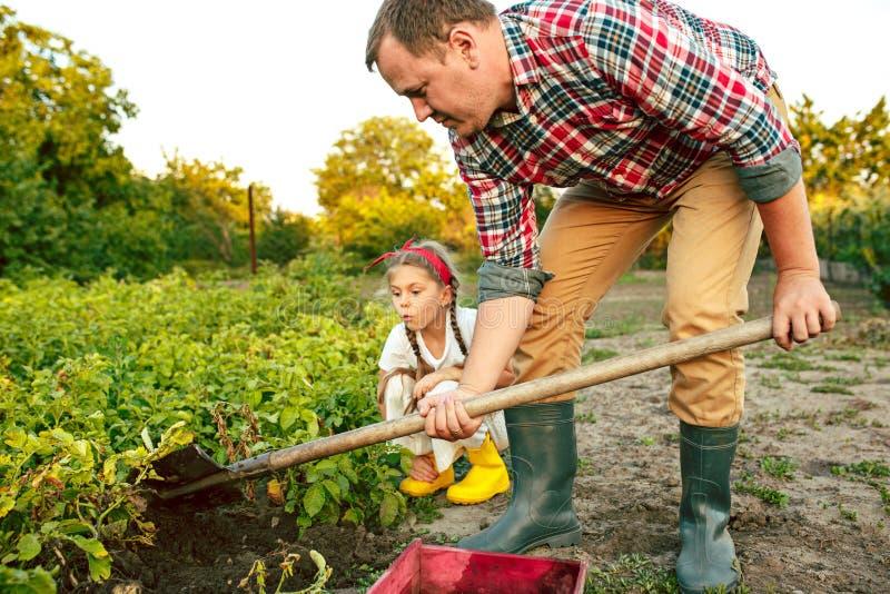 De landbouw, het tuinieren, landbouw en mensenconcept - jonge mens die aardappels planten bij tuin of landbouwbedrijf royalty-vrije stock afbeeldingen