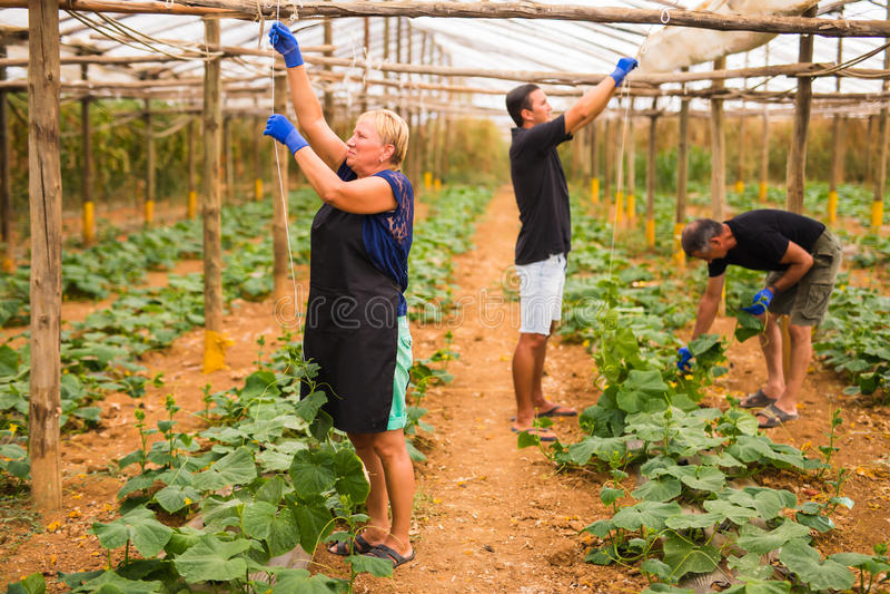 De landbouw, het tuinieren, landbouw en van het mensenconcept Familie het oogsten komkommer bij serre stock fotografie