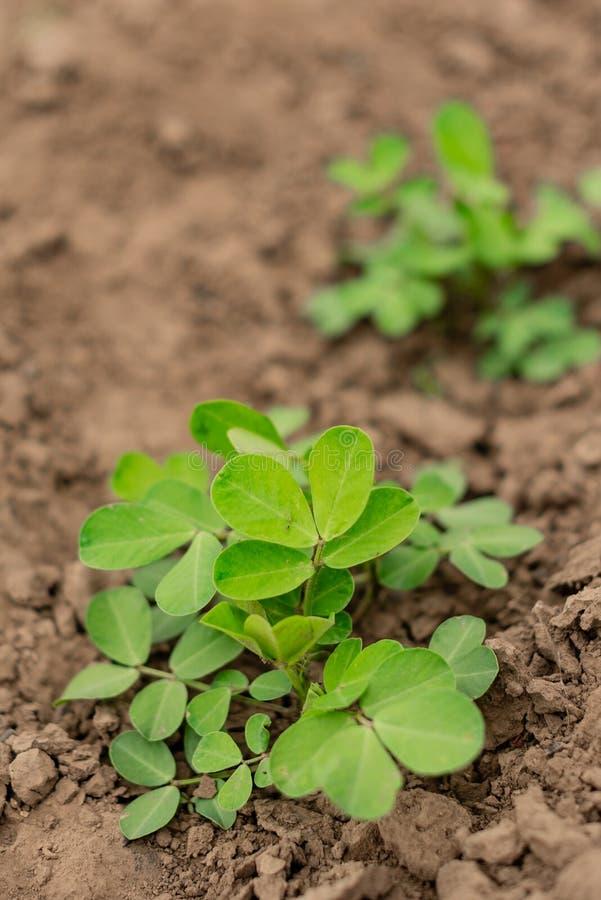 De landbouw van het pinda'sgebied in de groene installatie van het pindalandbouwbedrijf royalty-vrije stock foto's