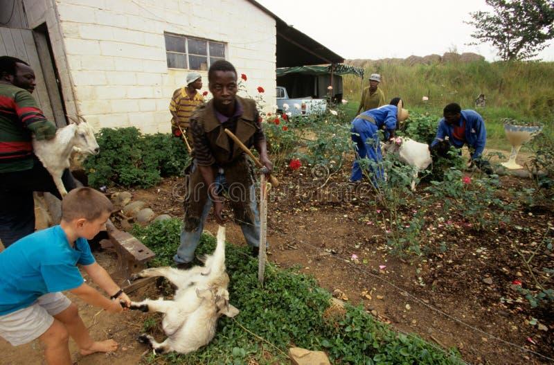 De landbouw van het vee in Zuid-Afrika. stock foto's