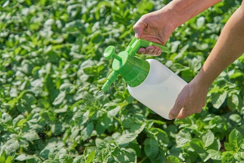 De landbouwer bespuit pesticide met handspuitbus tegen insecten op aardappelaanplanting in tuin in de zomer Landbouw en het tuini royalty-vrije stock foto