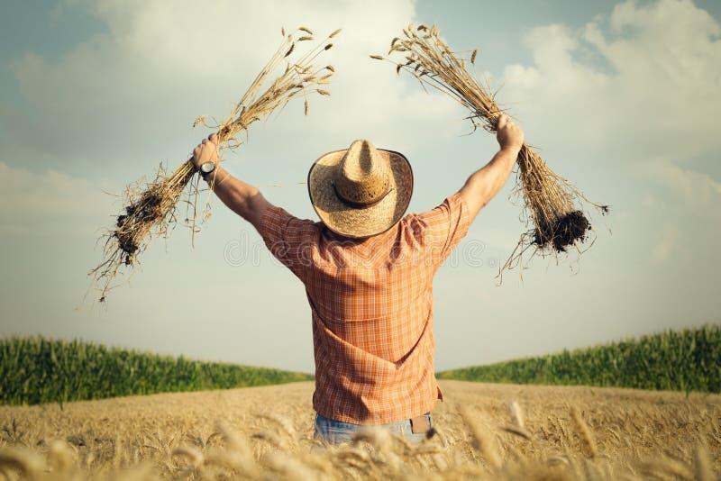 De landbouwer controleert de tarwekorrel op het gebied stock fotografie