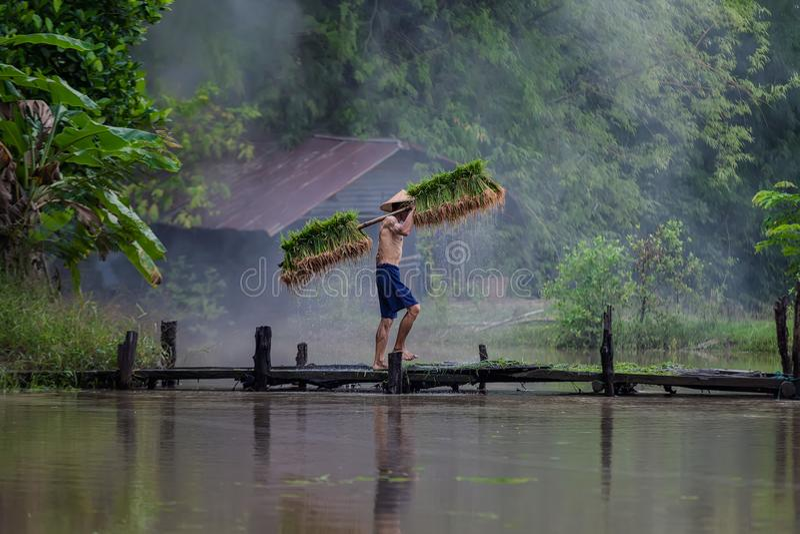 De landbouwer die van Azië rijst in het regenachtige seizoen planten stock afbeeldingen