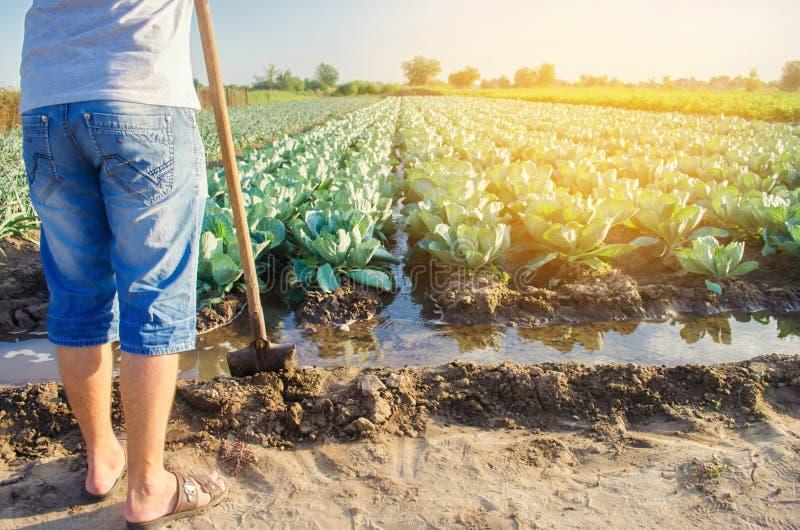 De landbouwer geeft het gebied water natuurlijke irrigatie De koolaanplantingen groeien op het gebied plantaardige rijen De landb royalty-vrije stock afbeelding