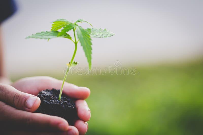 De landbouwer Holding een Cannabisinstallatie, Landbouwers plant marihuanazaailingen stock foto's