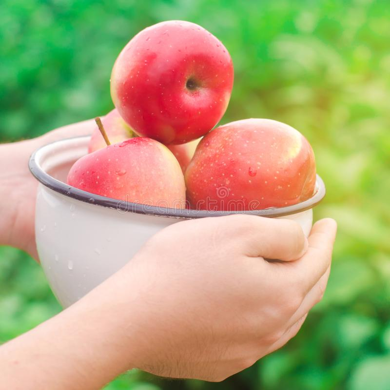 De landbouwer houdt verse die appelen in de tuin worden verzameld de herfst en de zomer oogsten een plaat van vitaminen Het oogst stock fotografie