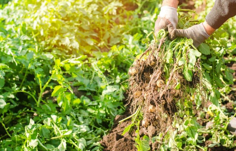De landbouwer houdt in zijn handen een struik van jonge gele aardappels, het oogsten, het seizoengebonden werk op het gebied, ver stock foto's