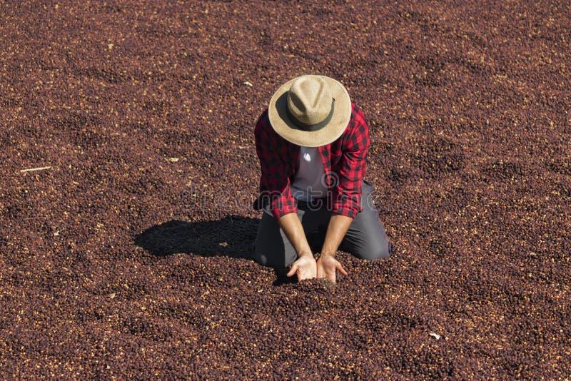 De landbouwer met hoed die zich op droge koffie bevinden, die droge koffieboon houden, roosterde koffieboon op de achtergrond, se royalty-vrije stock foto's