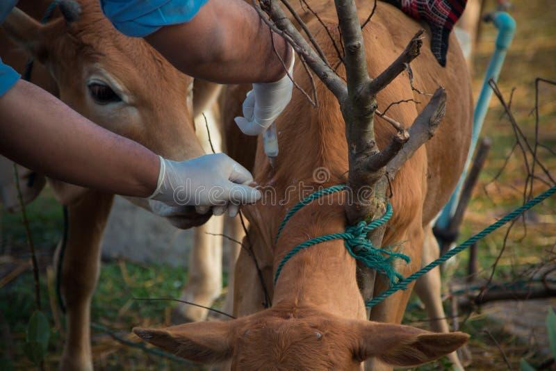 De landbouwer past koe van de inentings de Mond- en klauw ziekte toe stock foto