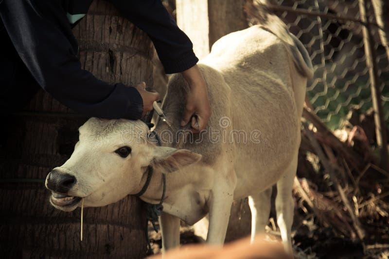 De landbouwer past koe van de inentings de Mond- en klauw ziekte toe royalty-vrije stock afbeelding