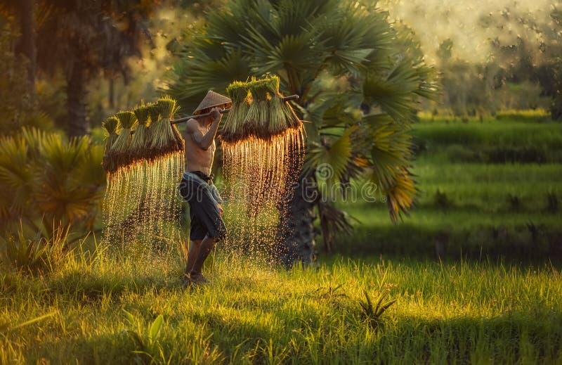 De landbouwer plant rijst op de gebieden tegen de lente groene rug royalty-vrije stock foto's