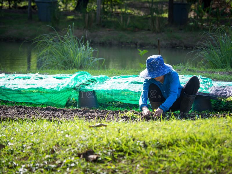 De landbouwer plant zaailingen in percelen De voorzijde is groen gras De rug is een vijver voor cultuur stock afbeeldingen