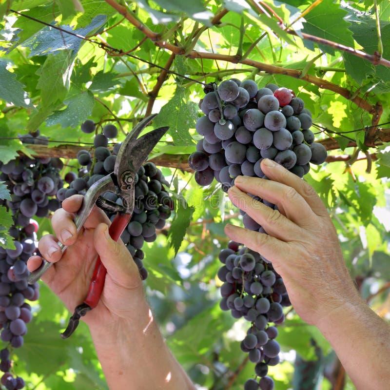 De landbouwer sneed druif royalty-vrije stock foto's