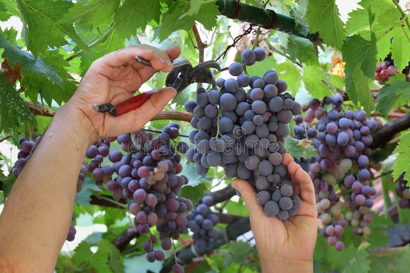 De landbouwer sneed druif royalty-vrije stock foto