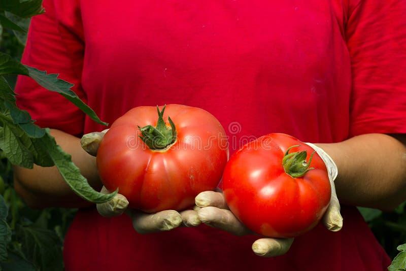 De landbouwer toont zijn verse organische tomatenoogst stock foto