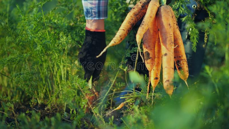 De landbouwer trekt een sappige wortel in de tuin terug Organische landbouwproducten stock foto's