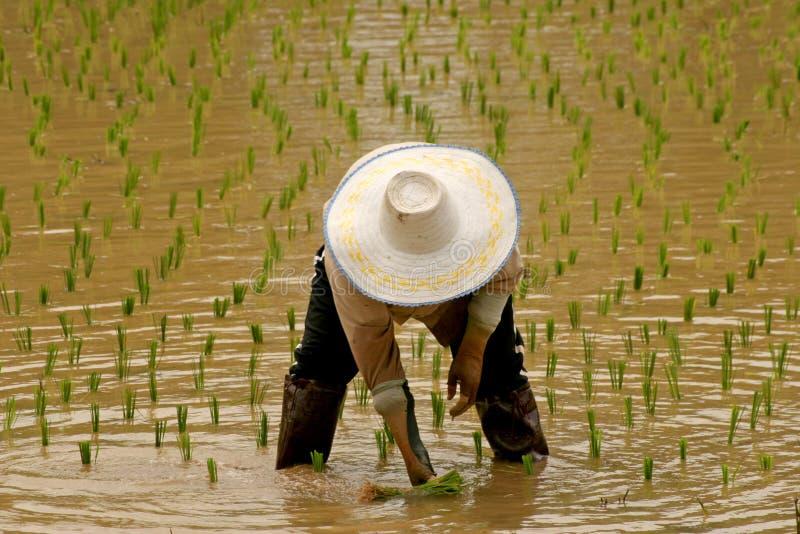 De Landbouwer van de rijst stock foto's