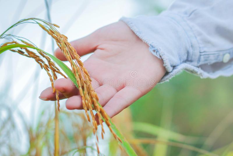 De landbouwer wat betreft haar gewas met dient een tarwegebied in royalty-vrije stock fotografie